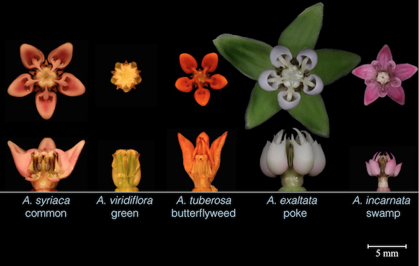 Five Asclepias species